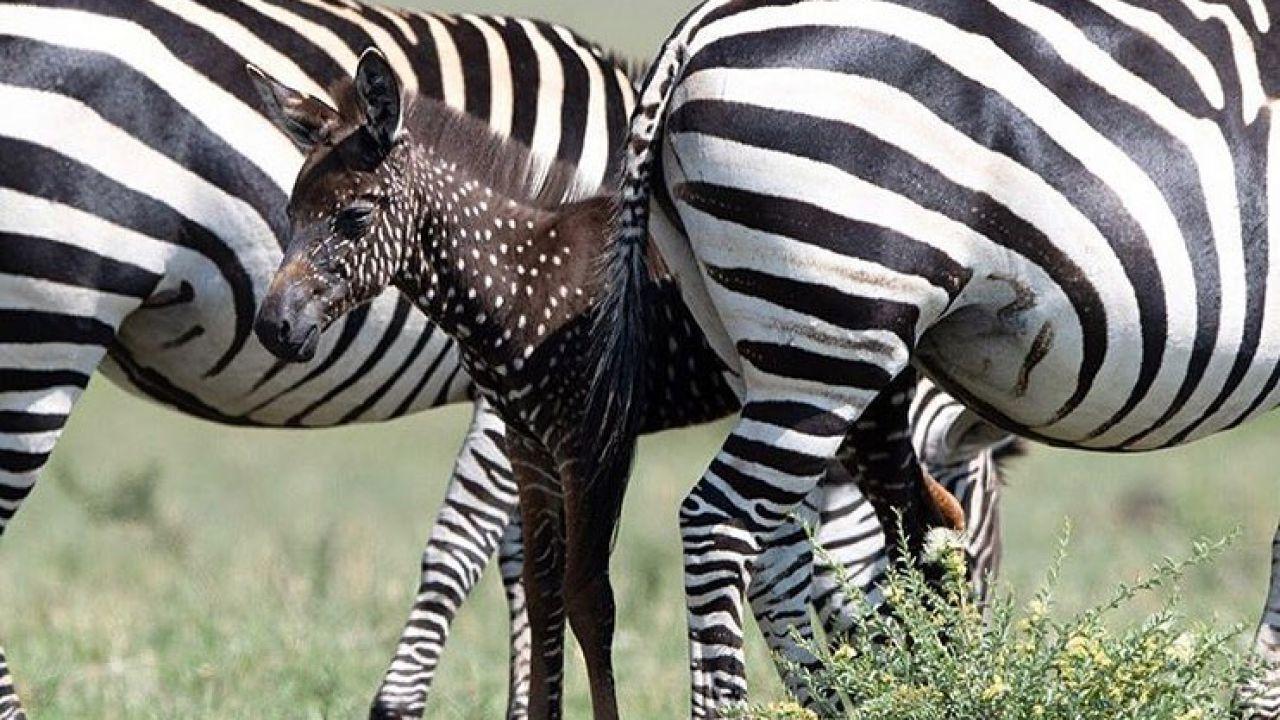 """Africa: """"La zebra a pois"""" di Mina esiste, si chiama Tira e va protetta"""
